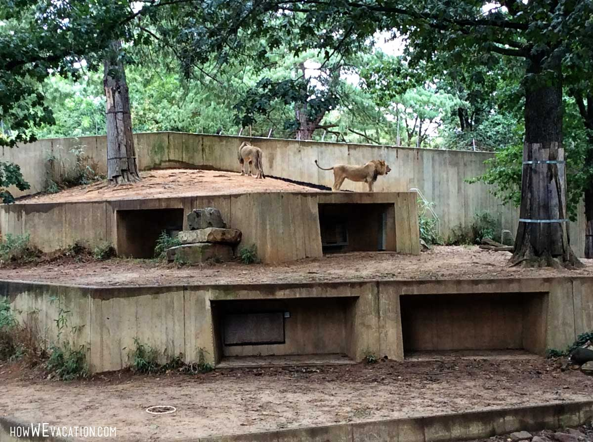 lions at national zoo