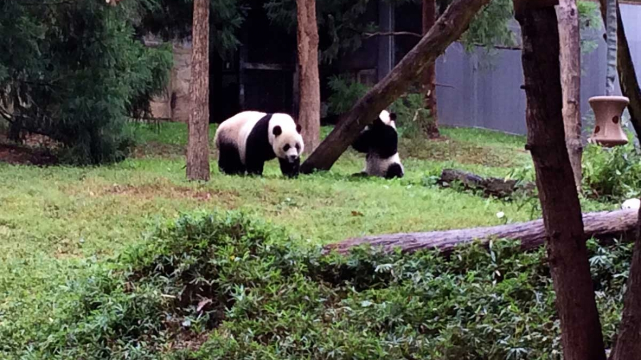 panda bears at national zoo