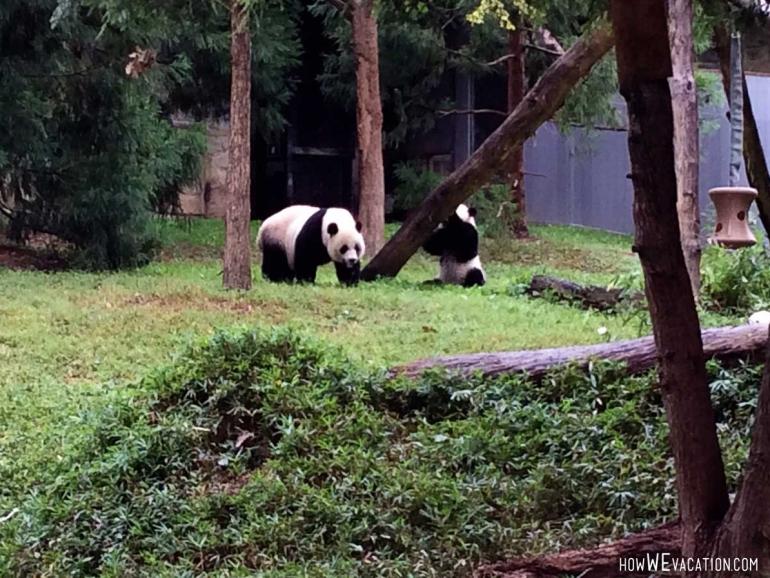 panda bears at national zoo