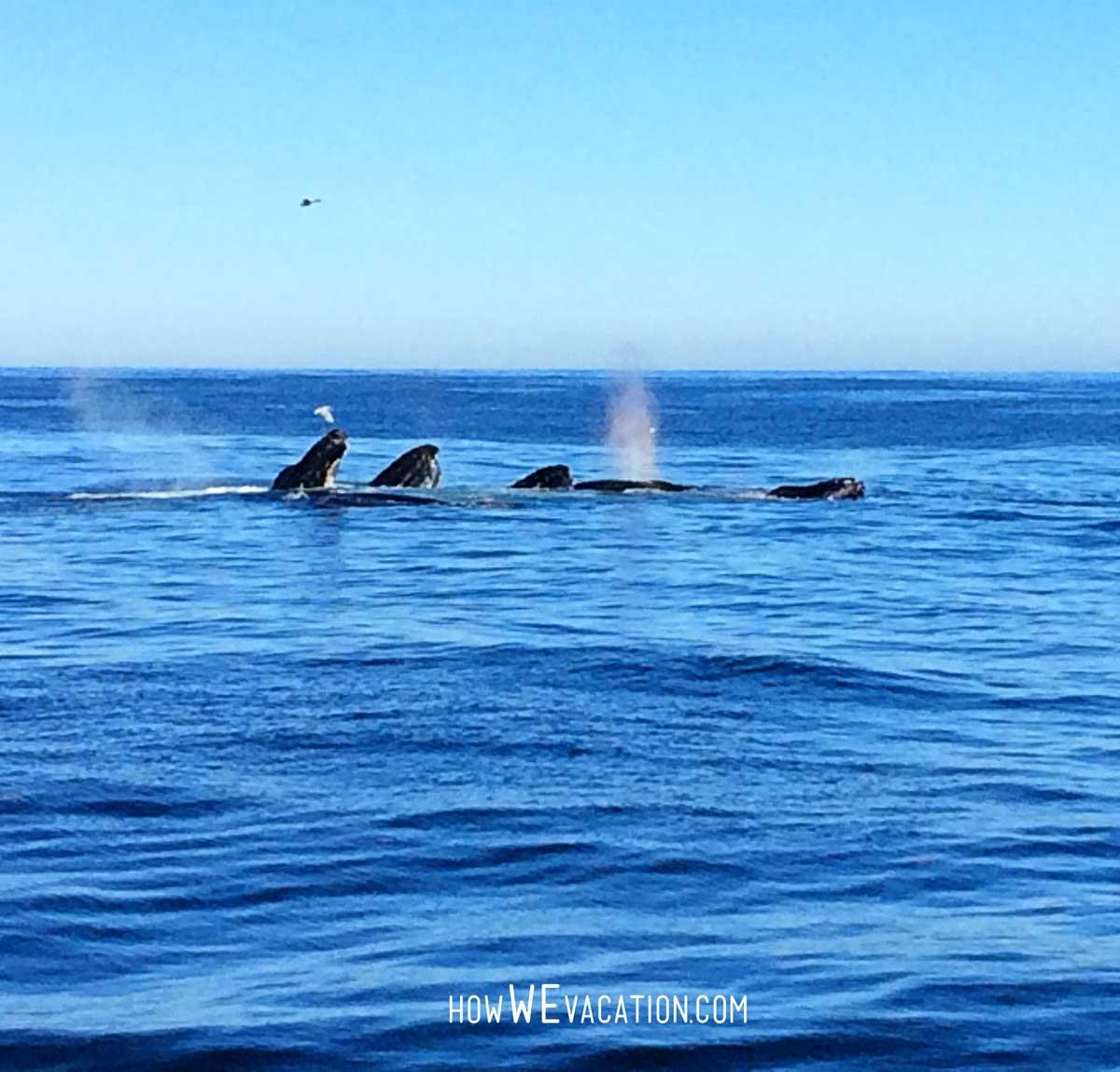 humpback whales boston cruise